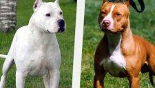 Dogo Argentino vs Pit Bull