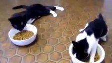 Sarhoş Edilen Kedilerin Mama Yeme Çabaları