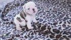Bebek Bulldog'un Ulumaya Çalışması