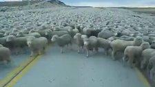 Böyle Koyun Sürüsü Görülmedi!