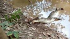 Elektrikli Yılan Balığı Timsahı Böyle Öldürdü