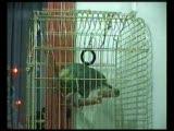 konuşan papağan 2