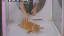 Kediye Lsd Vererek Deney Yapmak