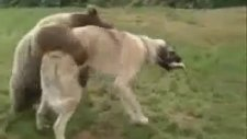 Ayı İle Köpek Güreşiyor
