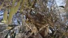 Bin 350 Yıllık Zeytin Ağacından 300 Kilogram Zeytin