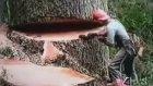 Dev Ağacı Testereyle Kesiyor