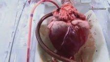 Çıkartılan Kalbi Tam Fonksiyonlu Çalıştıran Makine