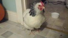Hapşırınca Ödünüzü Koparan Tavuk