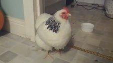 Hapşıran Tavuk çılgınlığı!