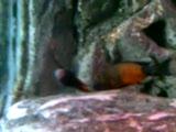 tropheus sp.bemba orange  emreee