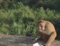 Maymuna Yiyecek Olarak Patlayıcı Vermek