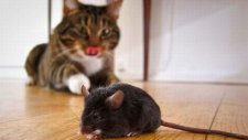 Kedinin Mükemmel Fare Avı
