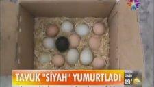 Siyah Yumurtlayan Tavuk