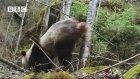 Pandaların İşeme Ritüeli