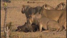 Afrika Vahşi Yaşam Belgeseli Aslanların Avlanması