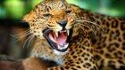Jaguar'ın Kapibara Avı
