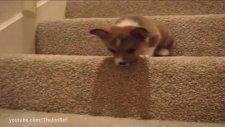 Yavru Köpeklerin Merdivenle Sınavı :)