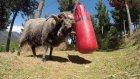 Boks Torbasıyla Kavga Eden Koç