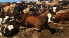Kars Hayvan Pazarı - Toplu İnek Satışları