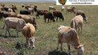 Kars Hayvan Pazarı - Toplu İnek Satışları  ( 0536 920 57 72 )