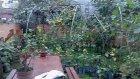 Bahçemızdeki Limonlarımız