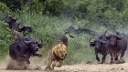 Aslanlara Karşı Manda Dayanışması