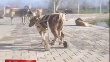 Felçli Köpeğe Tekerlekli Sandalye Yapmak - Bursa