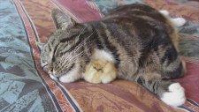 Kedinin Koynunda Uyuyan Civciv