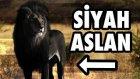 Siyah Aslan Olur mu? (Melanizm Böyle Bir Şey)