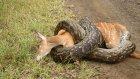 Pitona Yem Olan Antilop