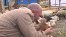Dişlerini Fırçalayan Kurbanlık Koyun