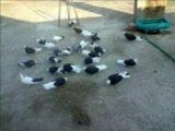 bursa güvercinler