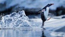Penguenlerin Buzula Çıkma Çabası