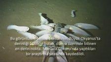 En Derinde Yaşayan Yeni Bir Balık Görüntülendi - Bbc Türkçe