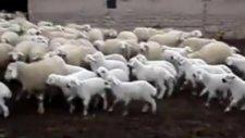 Koyunların Annelerine Kavuşma Anı