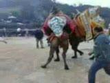 çevikpen hasanpaşa çanakkale çan deve güreşi