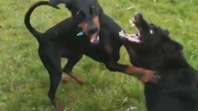 Doberman Alman Shepherd 'a Karşı (Köpek Dövüşü)