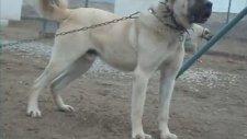 Agresif ROBOT, Sivas kangal köpekleri.