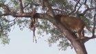 Dev Aslanlar Ağaca Tırmanarak Leoparın Avını Çalıyorlar