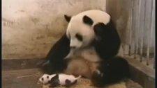 Bebek Panda Hapşırması