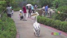 Hayvanat Bahçesinin Ağası Volta Atan Pelikan