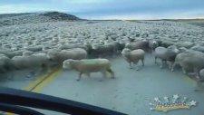 Binlerce Koyunun Arasından Geçmek