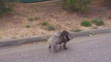 Kameramanı İplemeyen Koala