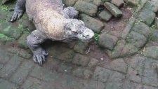 Tavukla Komodo Ejderi Beslemek