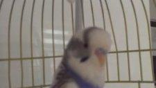 Konuşan Muhabbet Kuşu Aşkım