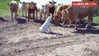 İlk Kez Köpek Gören İnekler