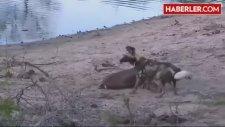 Vücut Isısı Düşen İmpala Vahşi Köpeklere Teslim Oldu