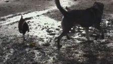 Kavga Eden Horozları Ayıran Köpek