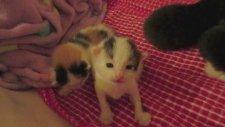 İki Haftalık Yavru Kedilerin İlk Atımları