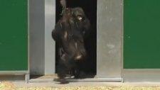 30 Sene Sonra ilk Kez Güneşi Gören Şempanzeler